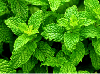 Bright green sprigs of peppermint plant leaves